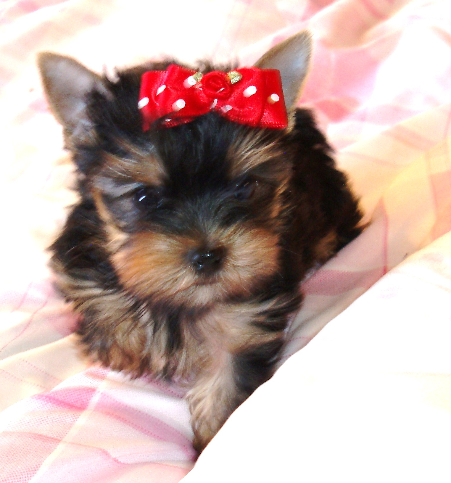 Natalies Yorkies Yorkies For Sale Teacup Parti Yorkies