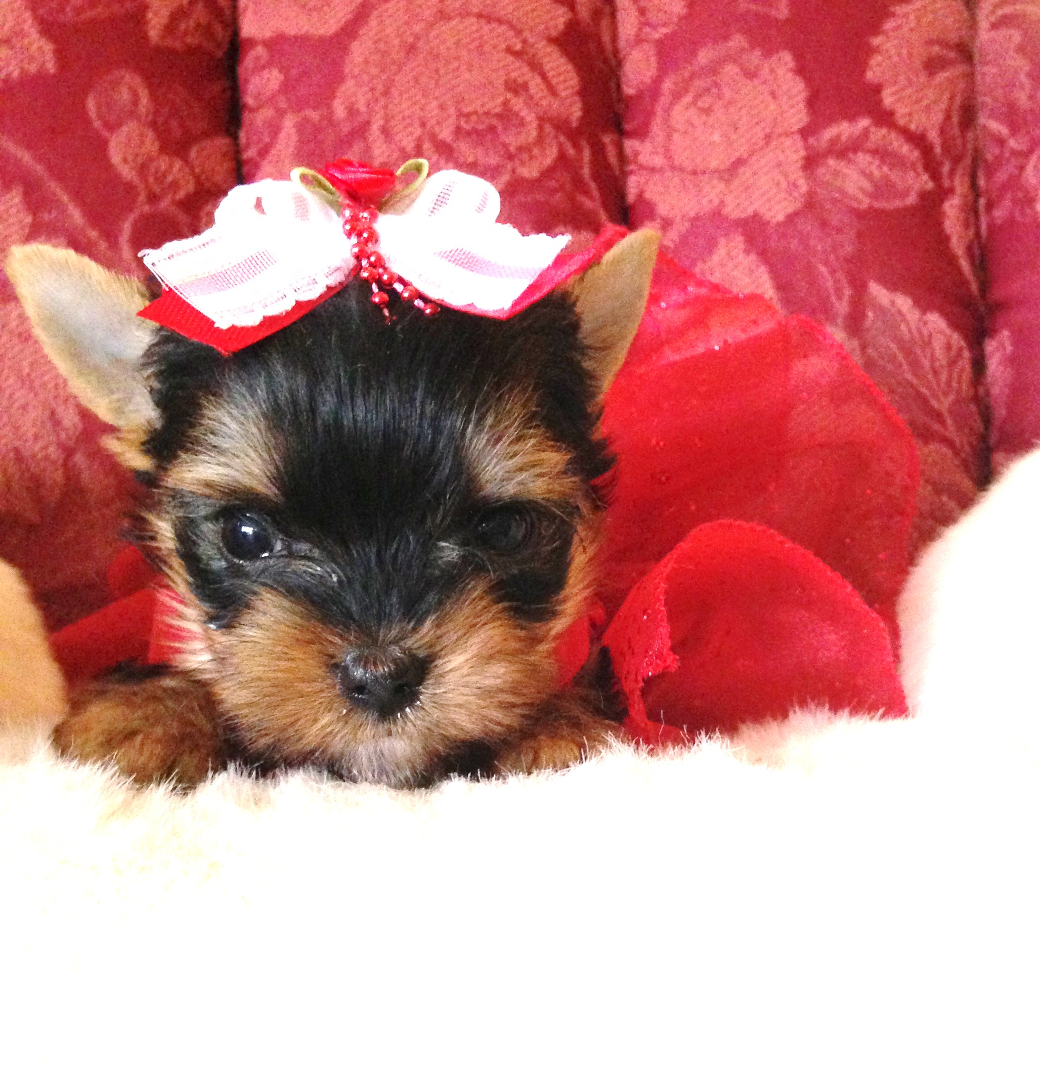Yorkies for Sale