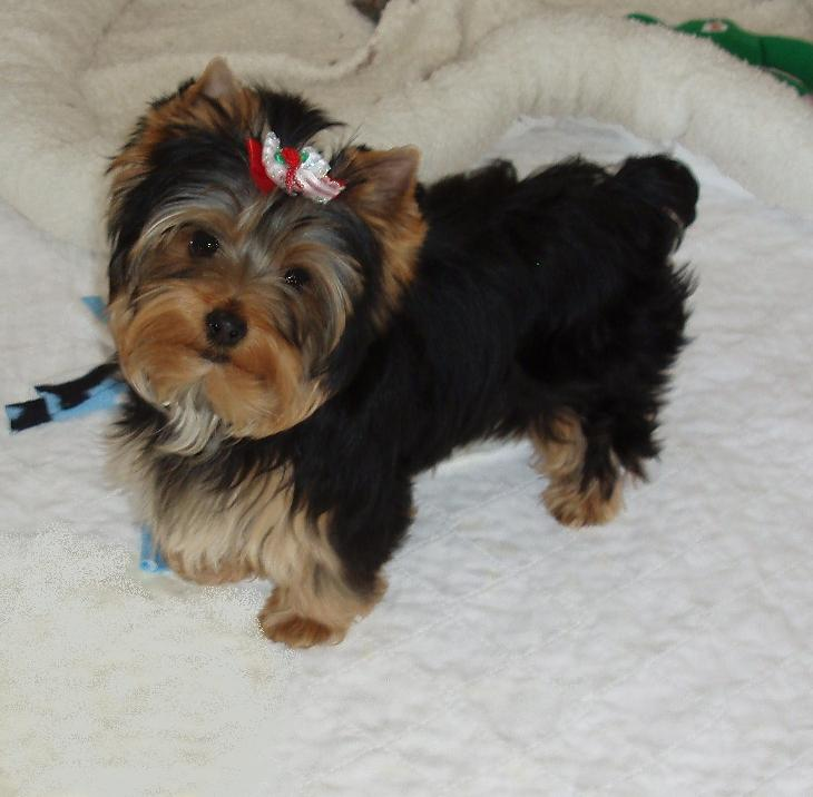 All My Retired Yorkiesyorkies For Sale